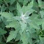 Goosefoot-बथुआ-Bathua-Spices-Names-in-English-Hindi-Meri-Rasoi